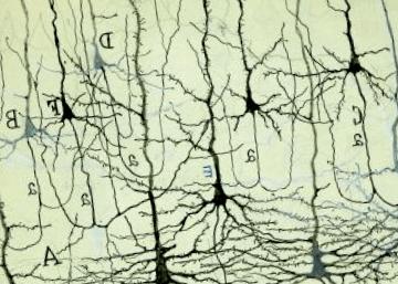 Neuronas descubiertas por Santiago Ramón y Cajal